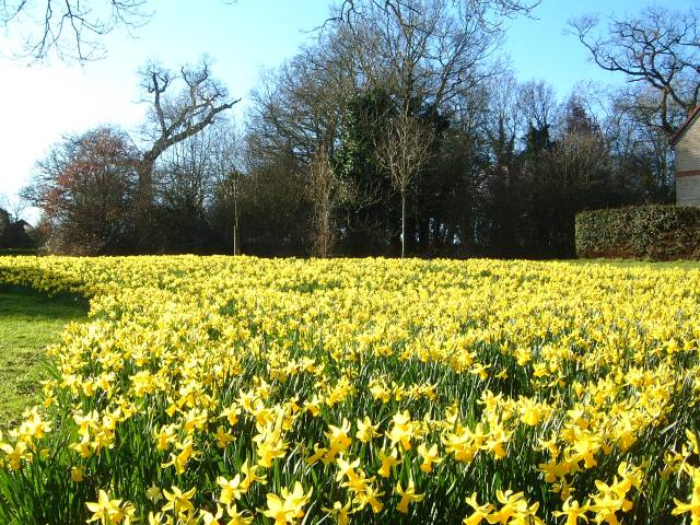File:Spring daffs' in Broad Hinton - geograph.org.uk - 525349.jpg