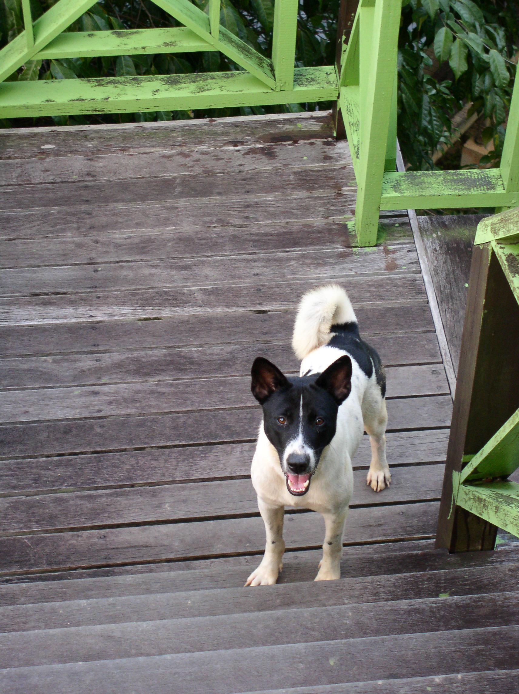 Malaysia Dog Breed