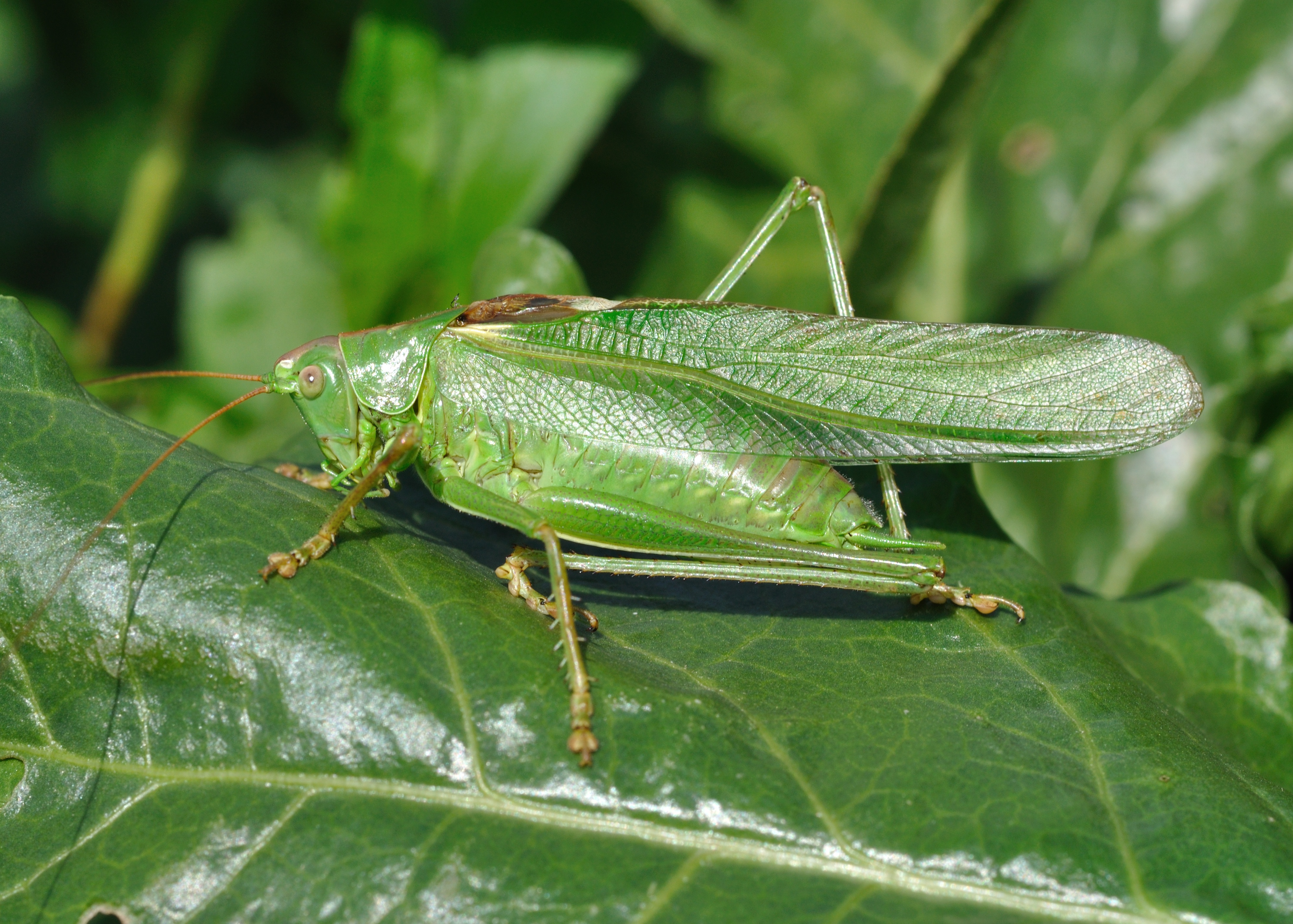CategoryGreen insects  Wikimedia Commons