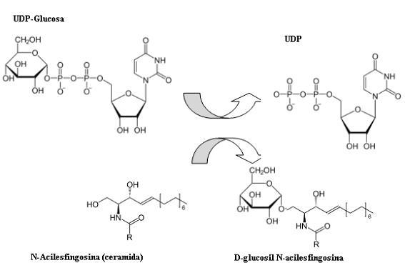 estructura glucosa: