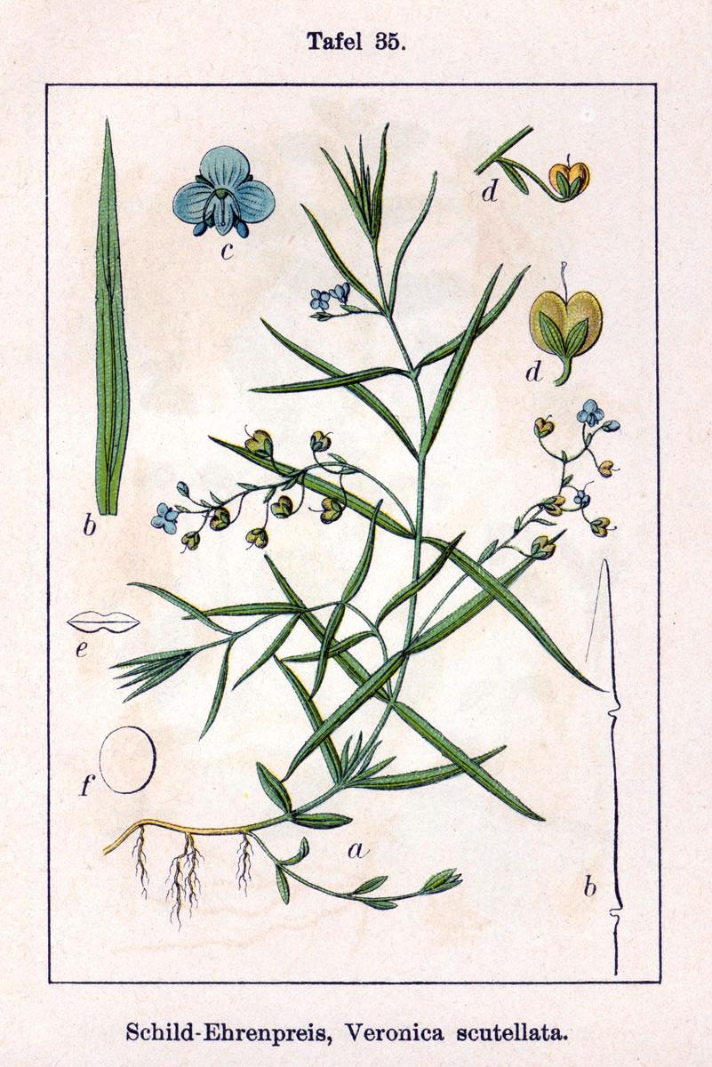 Veronica scutellata - Wikipedia