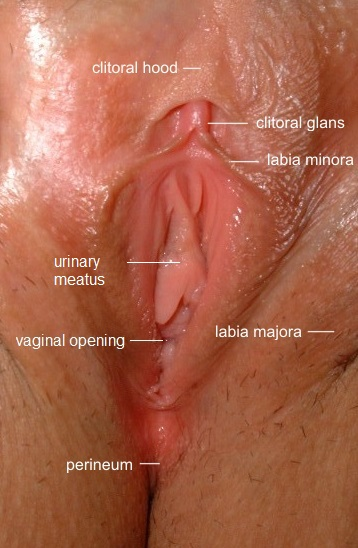 http://upload.wikimedia.org/wikipedia/commons/8/85/Vulva_labeled.jpg