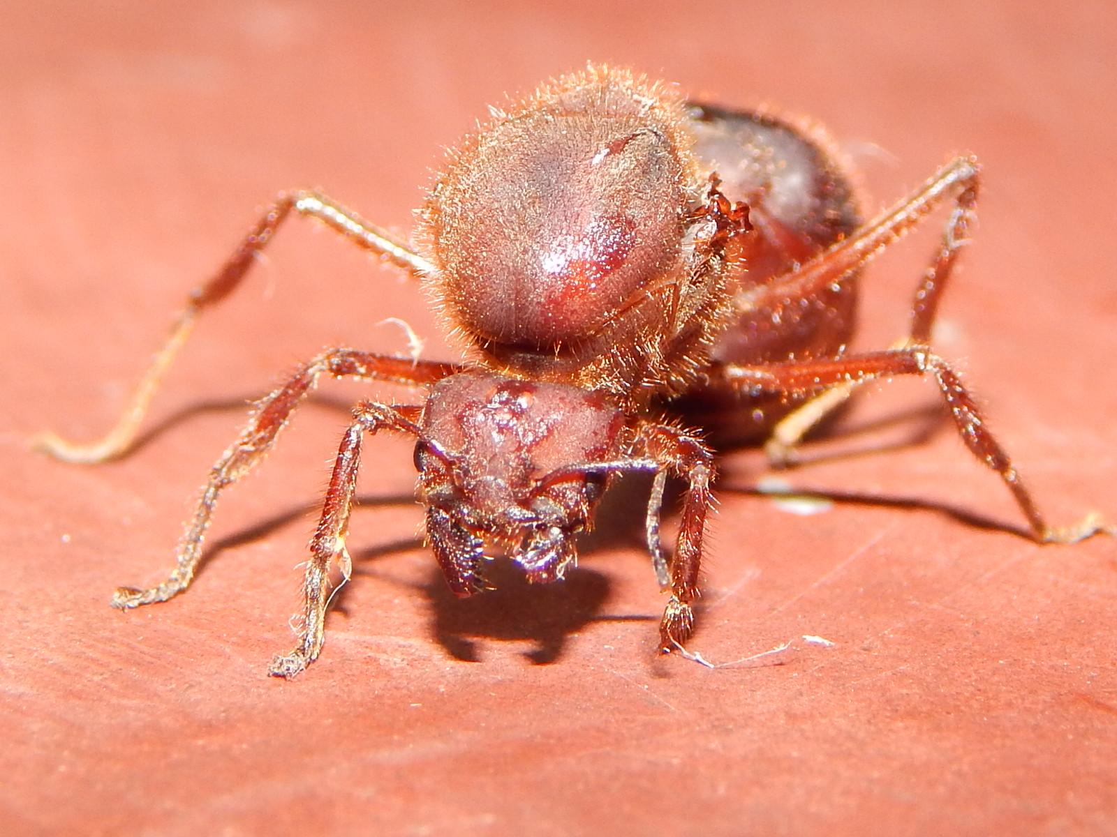 Sompopo Ants Www Topsimages Com