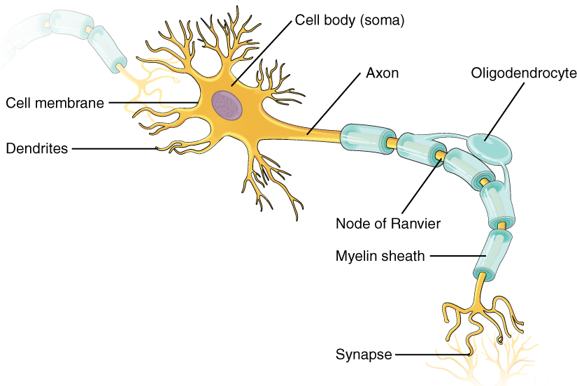 Neurons Boundless Psychology