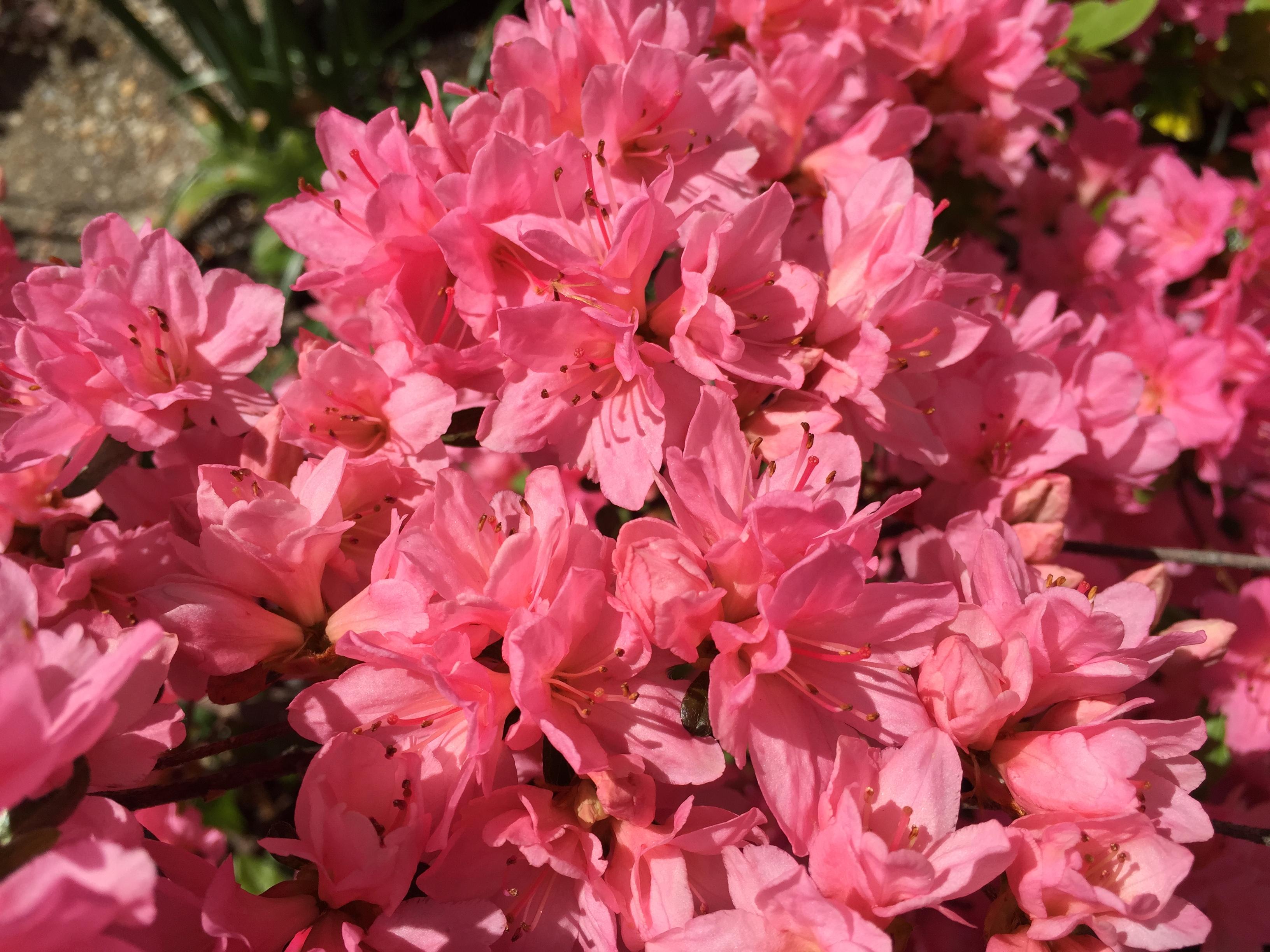 File2017 04 21 15 27 17 Pink Azalea Flowers Along Tranquility Court