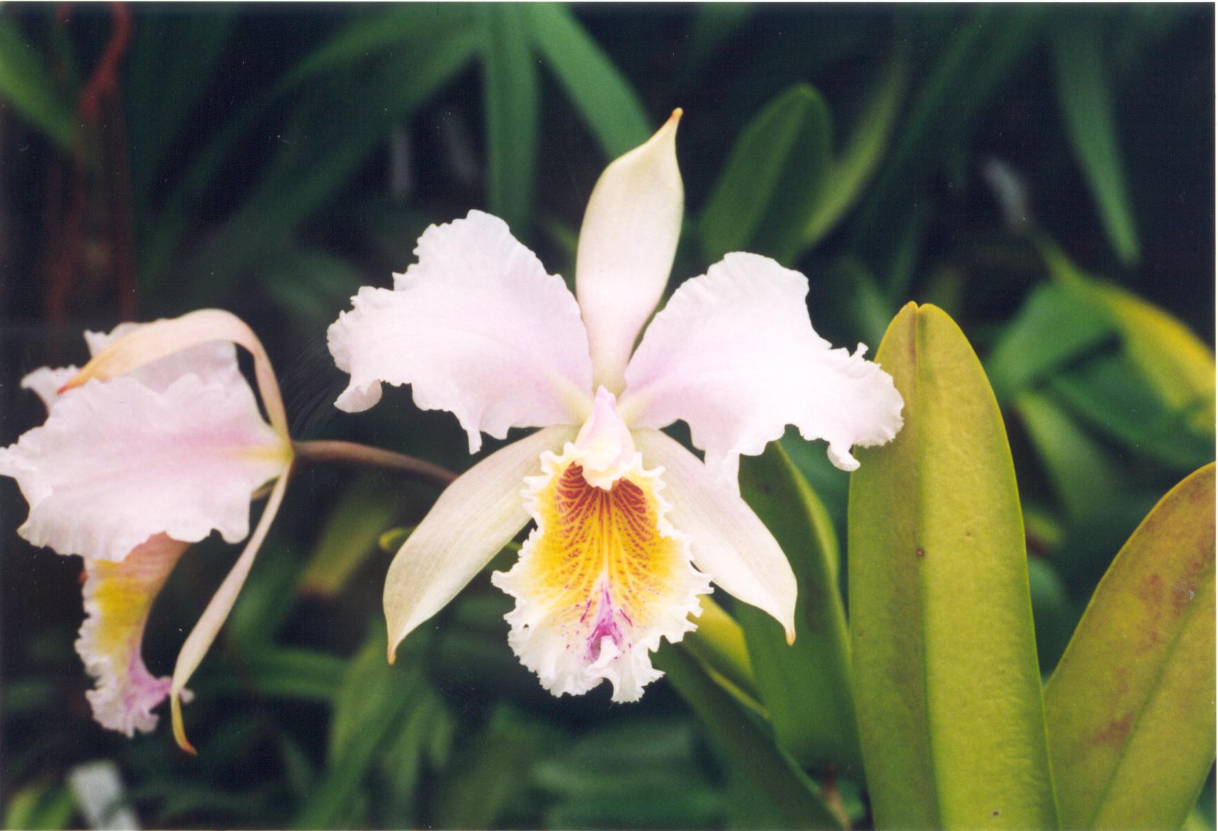 Gousicteco orchid cattleya images for Orchidea cattleya