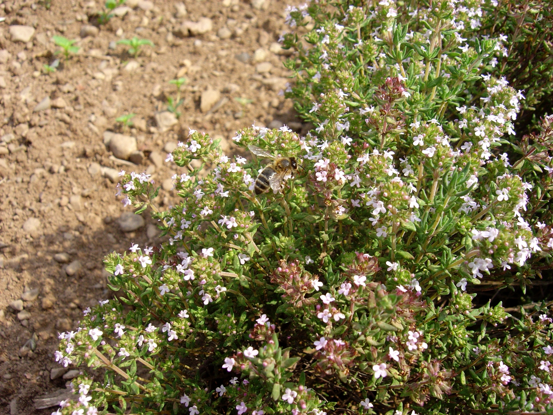 Plante mellifère - le thym   Apiculture: le blog d'un ...