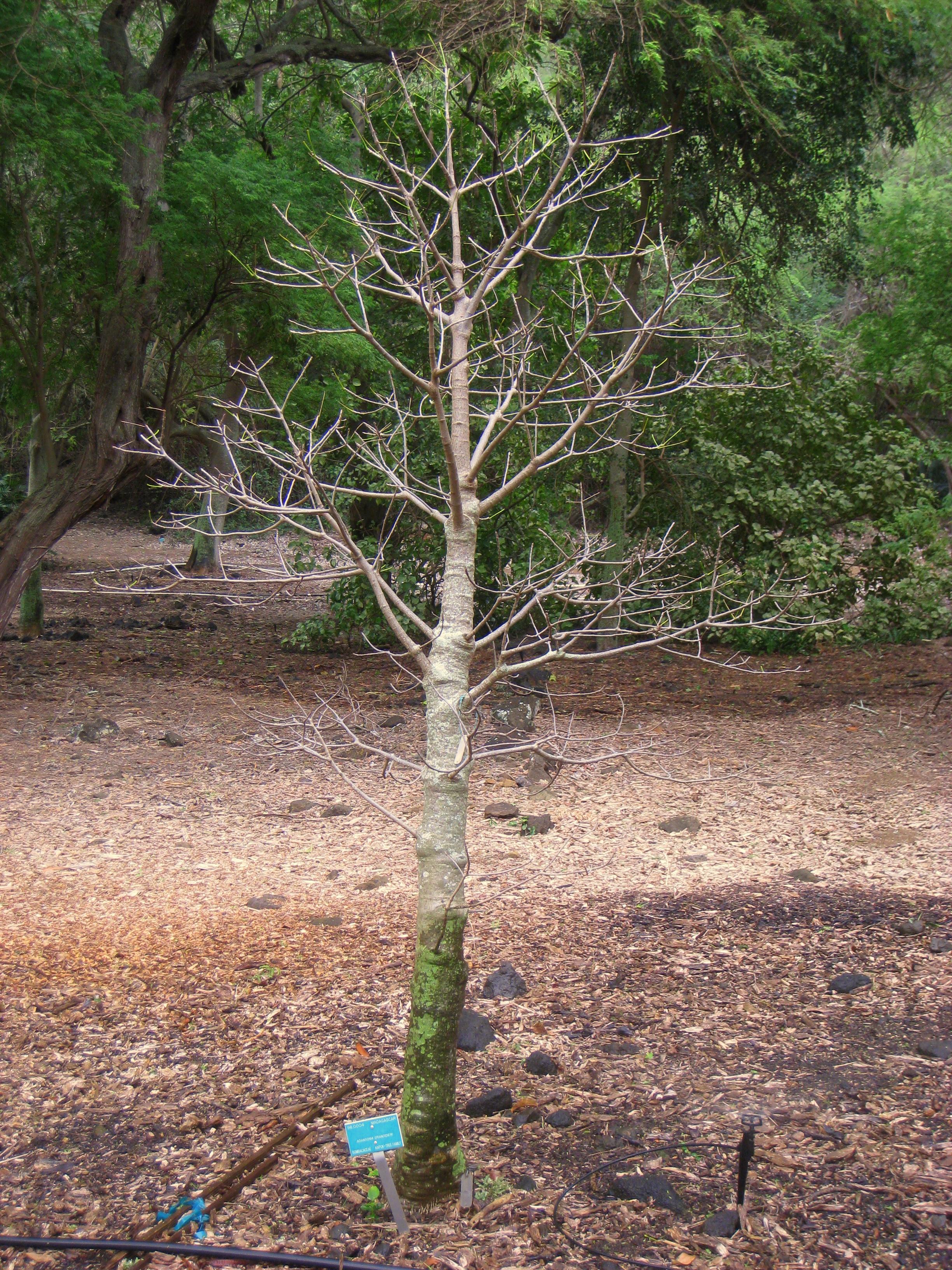 File Adansonia Grandidieri Koko Crater Botanical Garden Img 2332 Jpg Wikimedia Commons