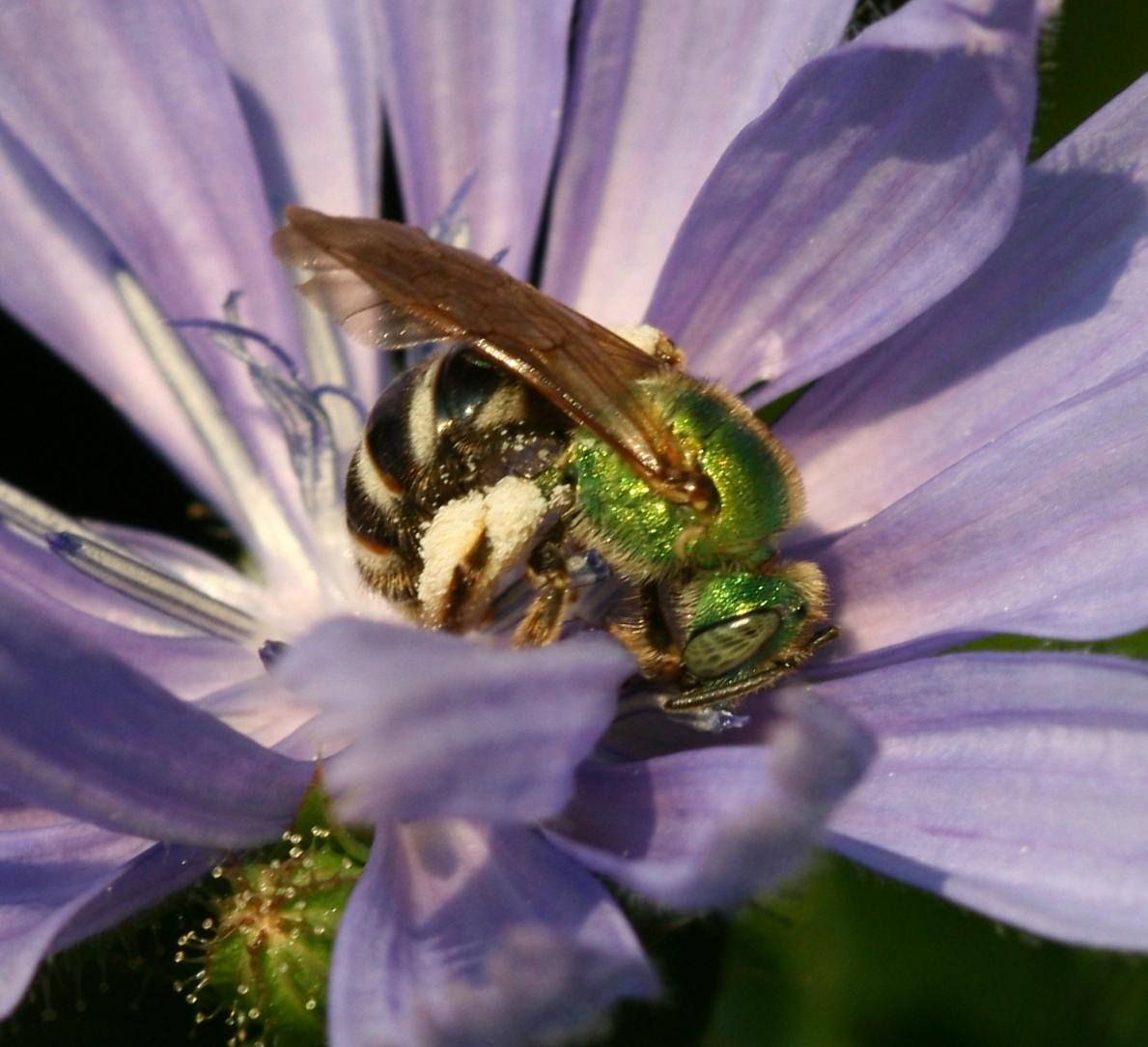 File:Agapostemon virescens - female2.jpg