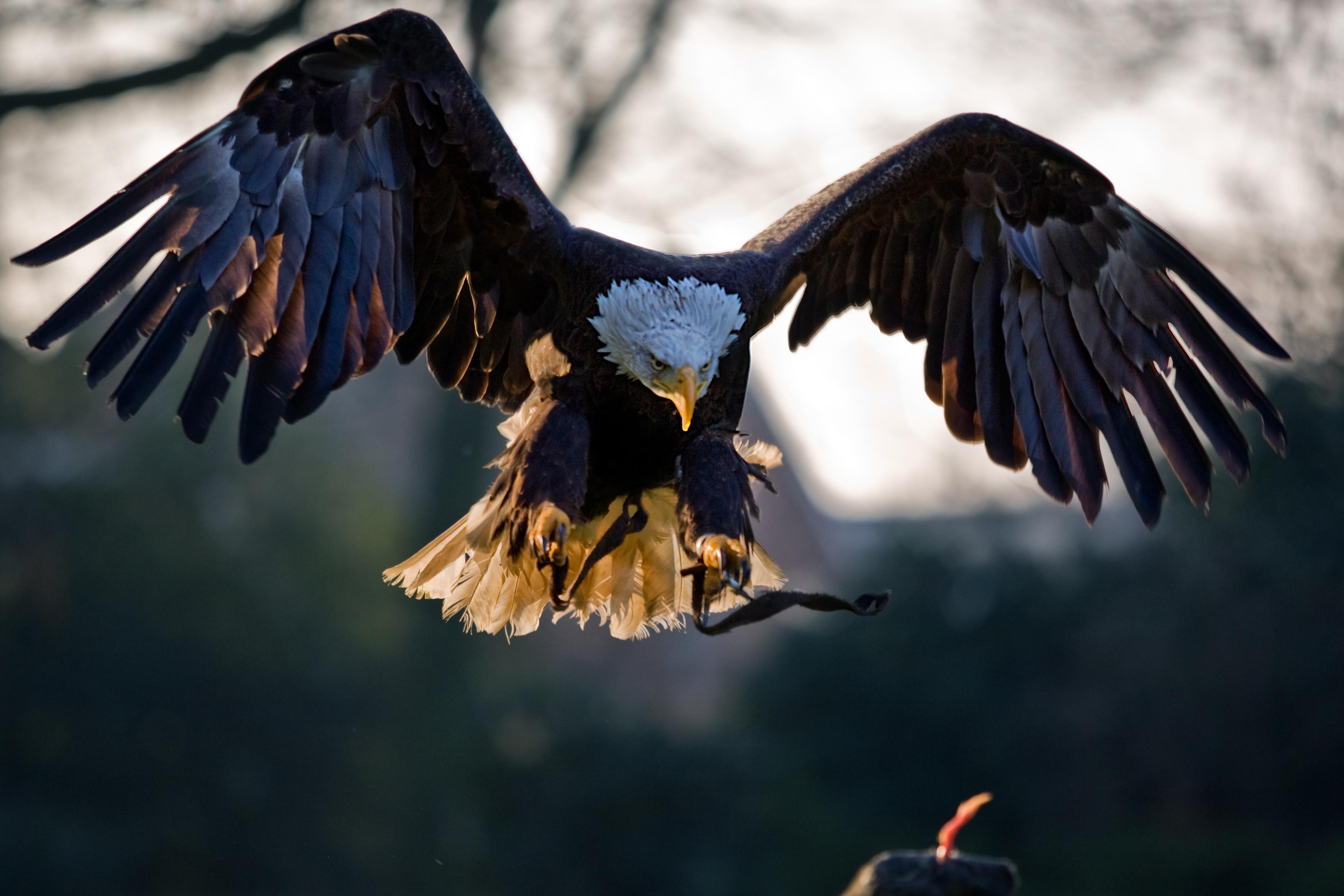 File:American Bald Eagle, landing.jpg - Wikimedia Commons