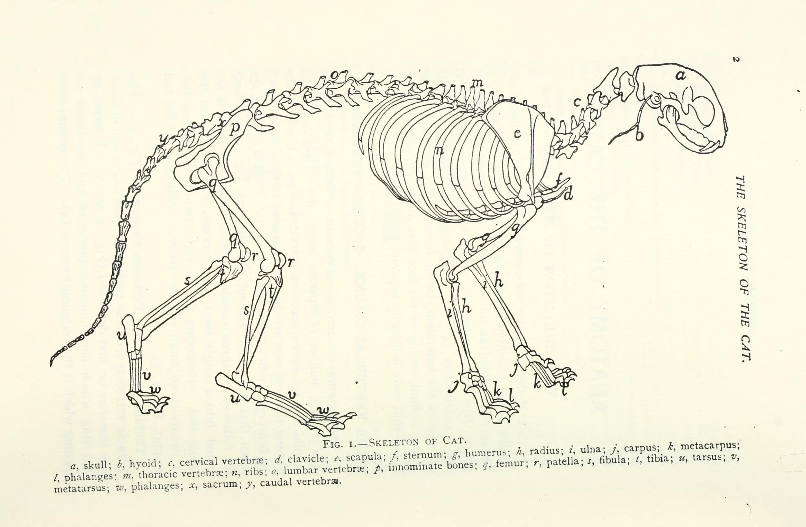 File:Anatomy of the cat BHL9413033.jpg - Wikimedia Commons