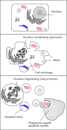 {{Information |Description=Labelled diagram of a cell undergoing apoptosis. |Source=Self |Date=18 Dec 2006 |Author=Emma Farmer |Permission=Public Domain }}