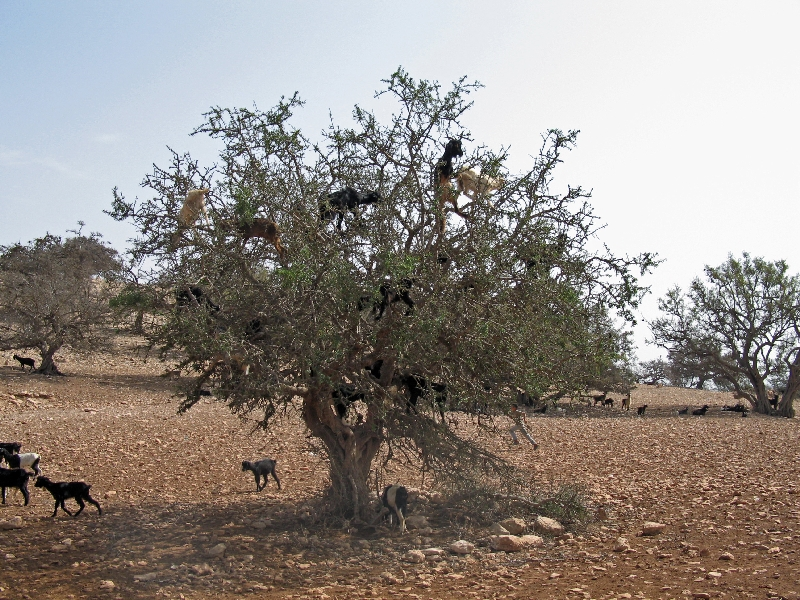Tree-climbing goats on an argan tree. (c) Aleksasfi (via Wikimedia Commons)