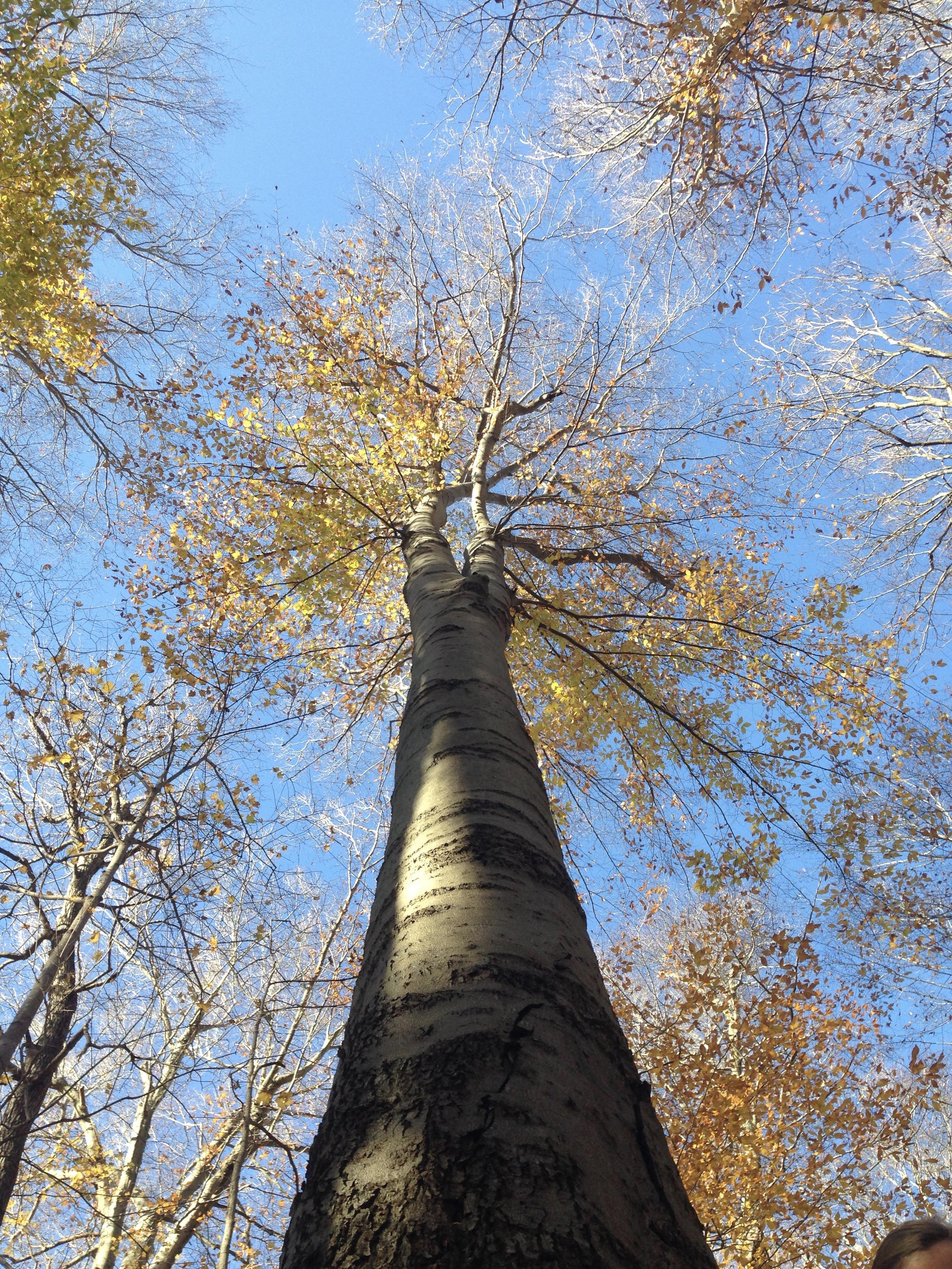 File beech tree in warren woods mi usa g wikimedia