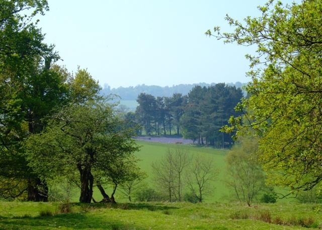 Bluebells in Poker's Leys Wood from Calke Park - geograph.org.uk - 797538