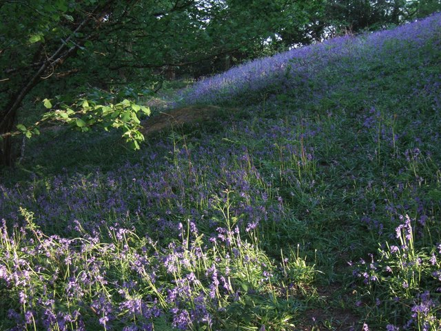 Bluebells near Carswells Moor - geograph.org.uk - 422301