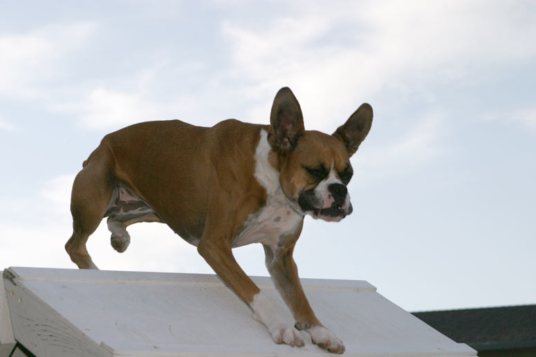 File:Boxer agility A-frame.jpg - Wikimedia Commons
