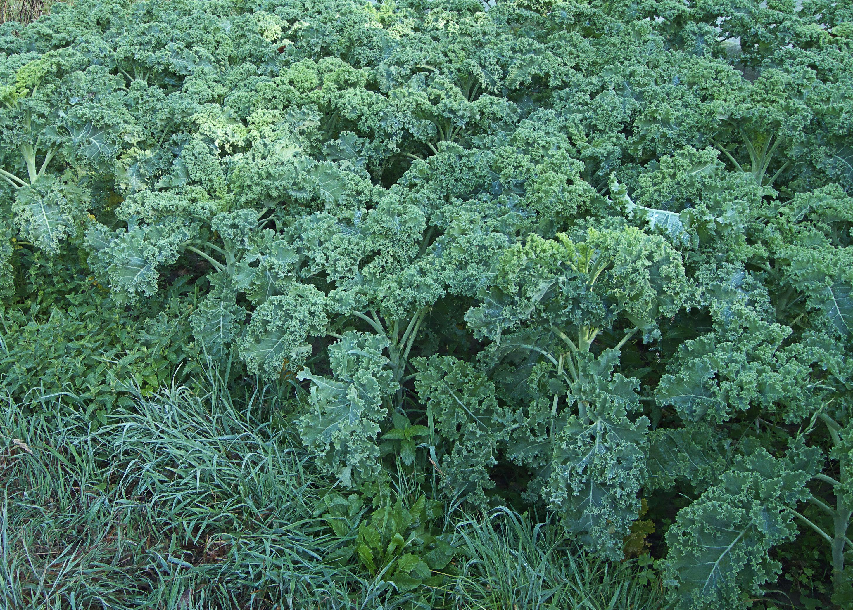 file brassica oleracea convar acephala var laciniata. Black Bedroom Furniture Sets. Home Design Ideas