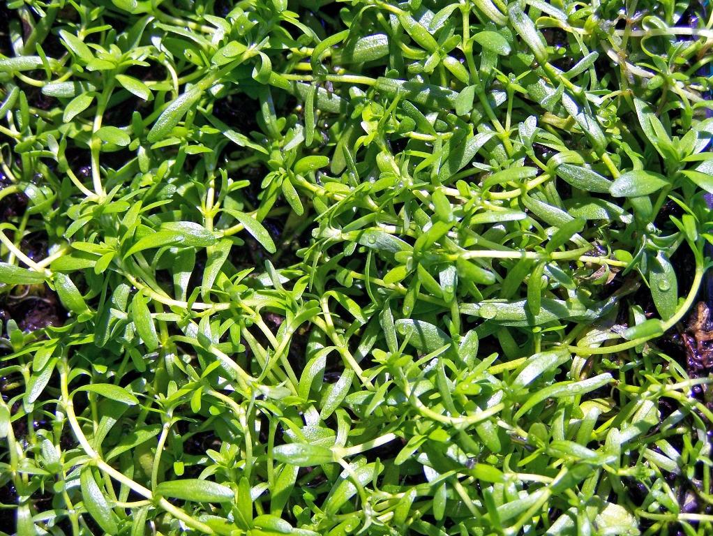 Wasserstern – Teichpflanzen
