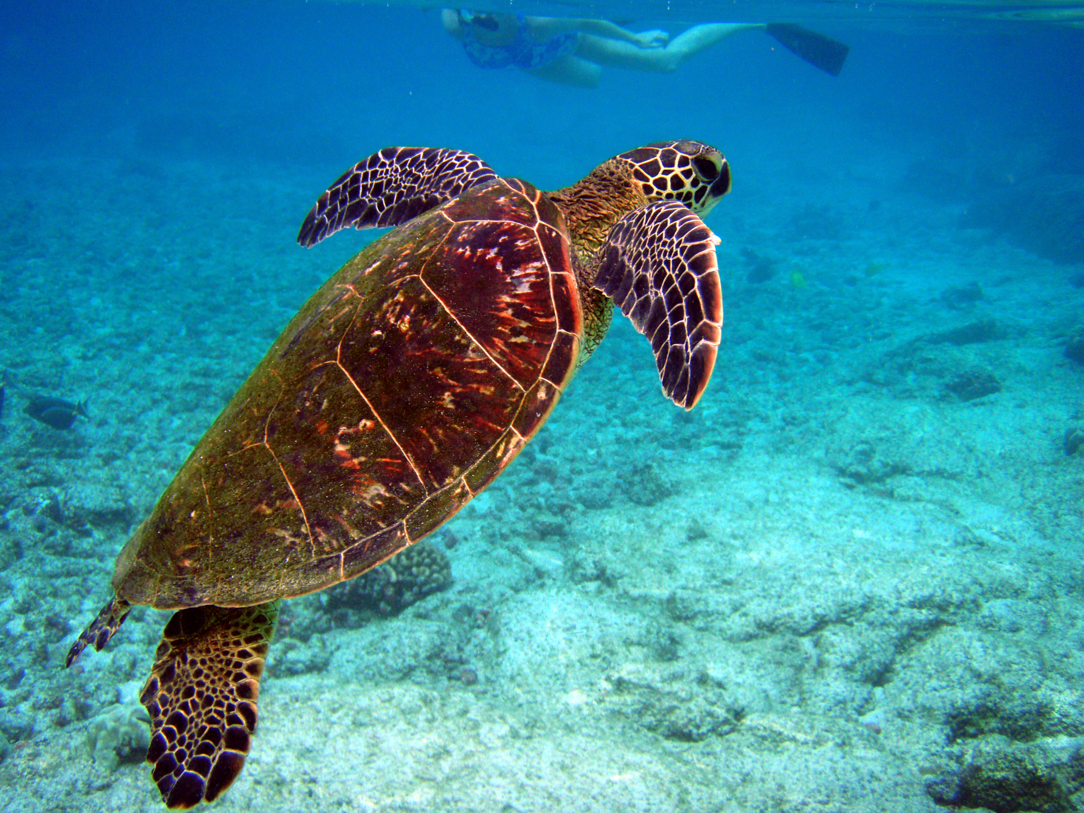 File:Chelonia mydas is going for the air.jpg - Wikipedia, the free ...
