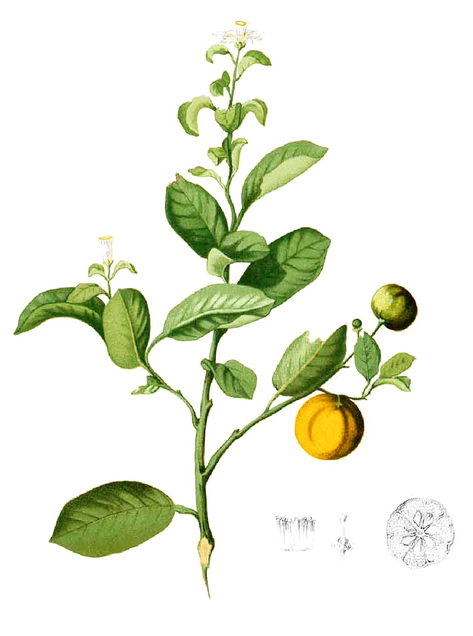 Citrus madurensis Blanco1.185-cropped.jpg