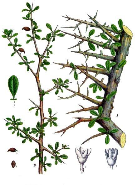 Commiphora myrrha - Köhler–s Medizinal-Pflanzen-019