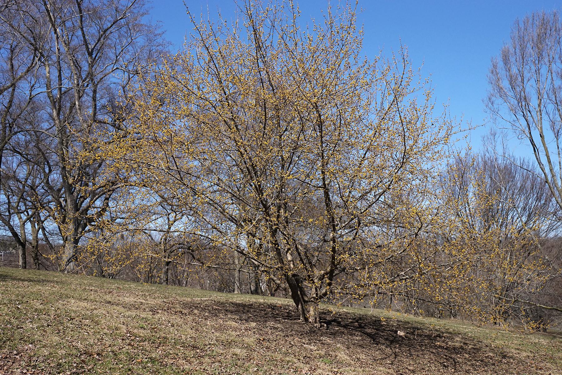 a cornelian cherry tree with light yellow leaves beginning to set.