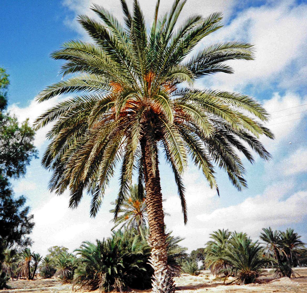 File djerba palmier wikimedia commons - Type de palmier ...