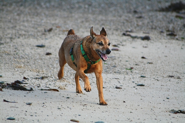 Dog on Beach at Saddell Bay - geograph.org.uk - 660894 rescue dogs have an unfair reputation