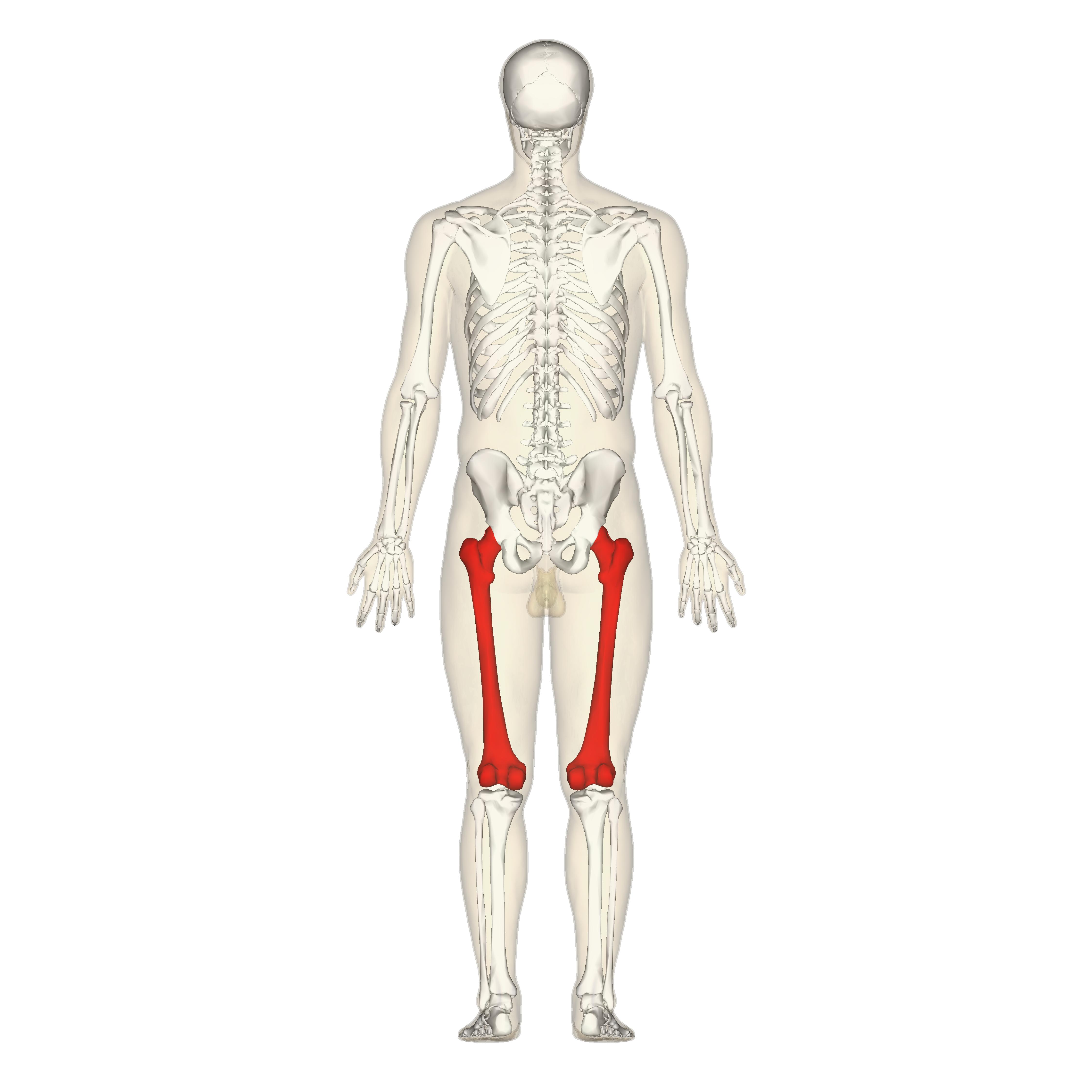 Human Femur File:femur - posterior view.