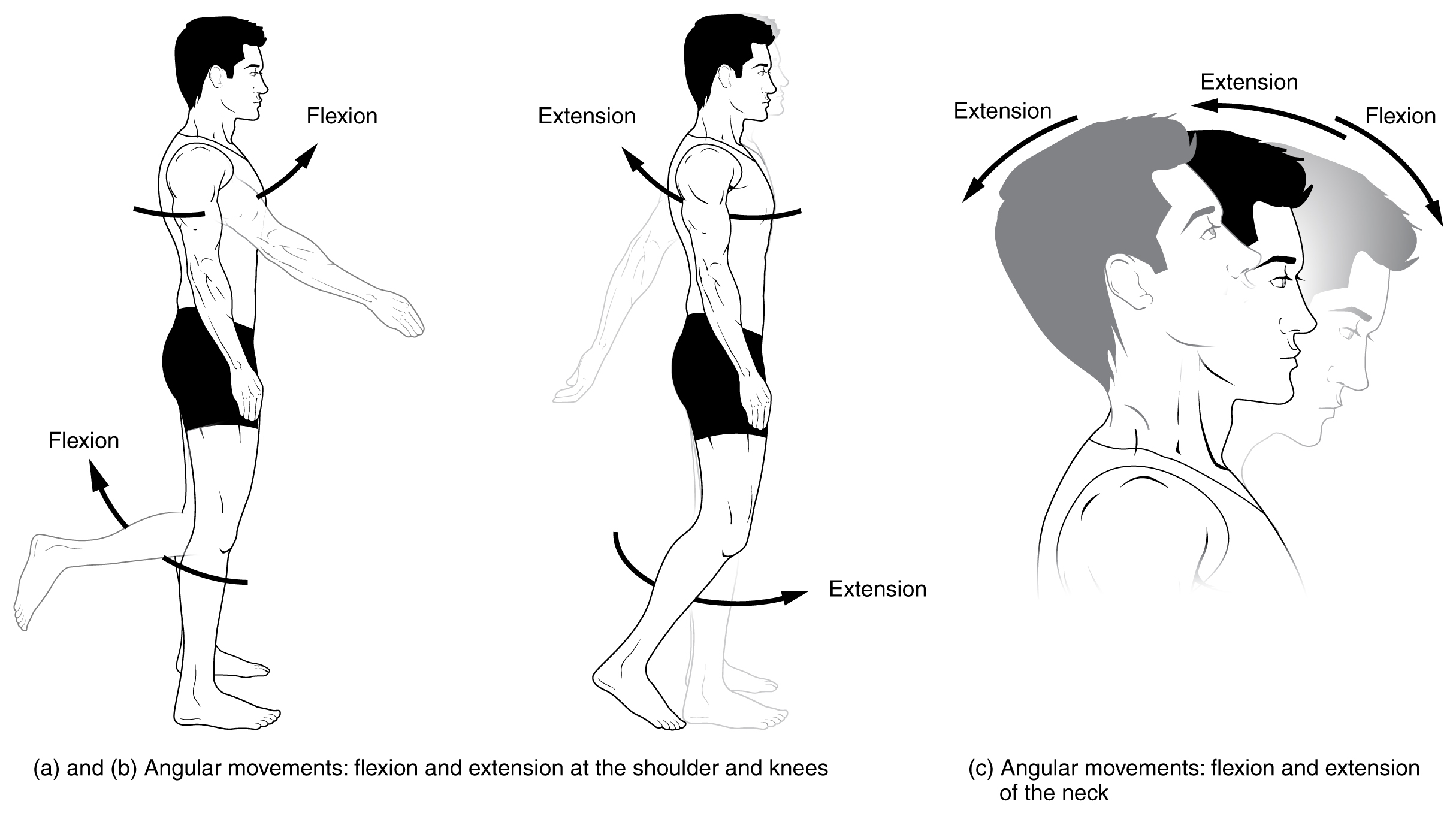 Anatomical Terms Of Motion Wikipedia