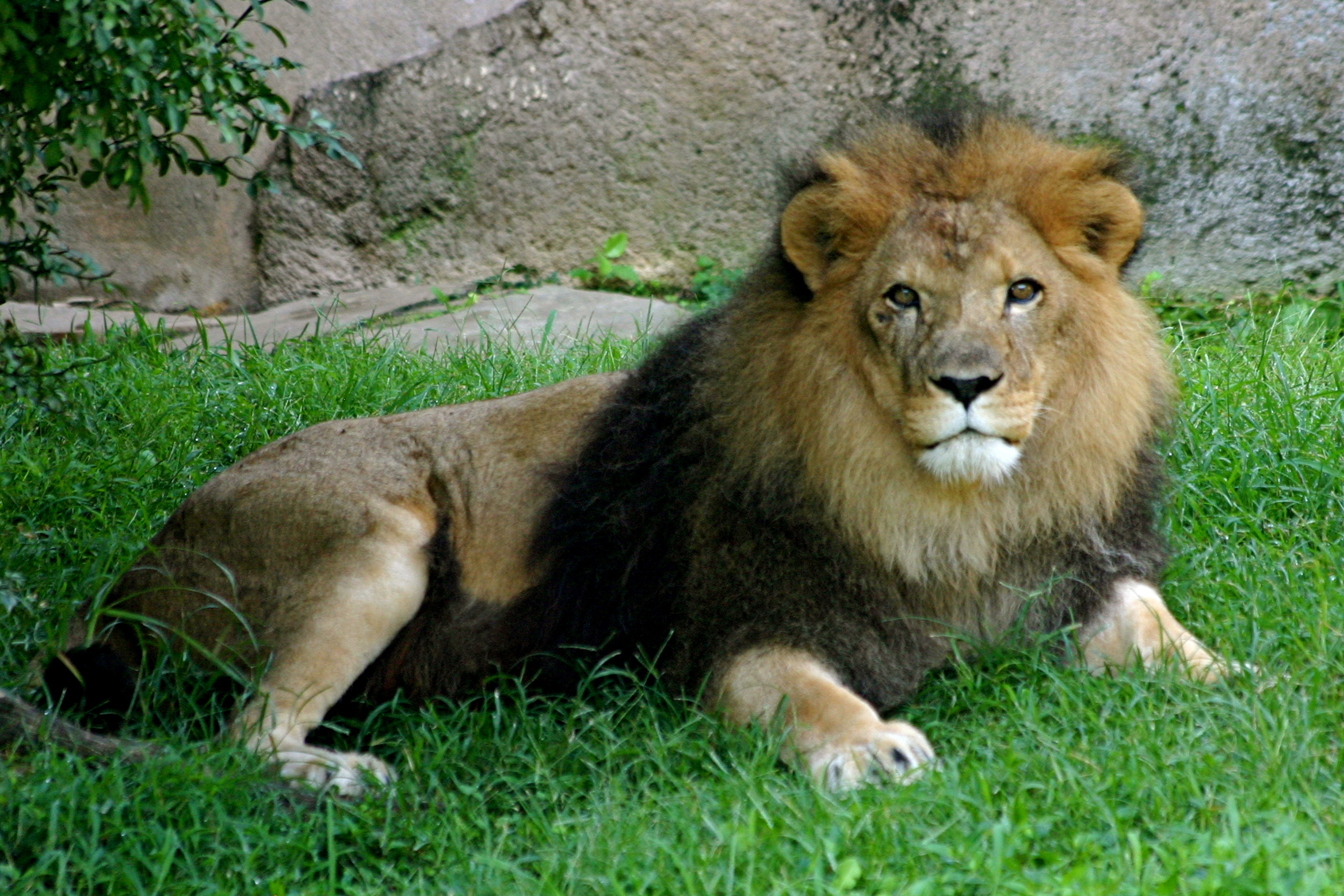 File:Fred the Lion full body resting.jpeg - Wikimedia Commons
