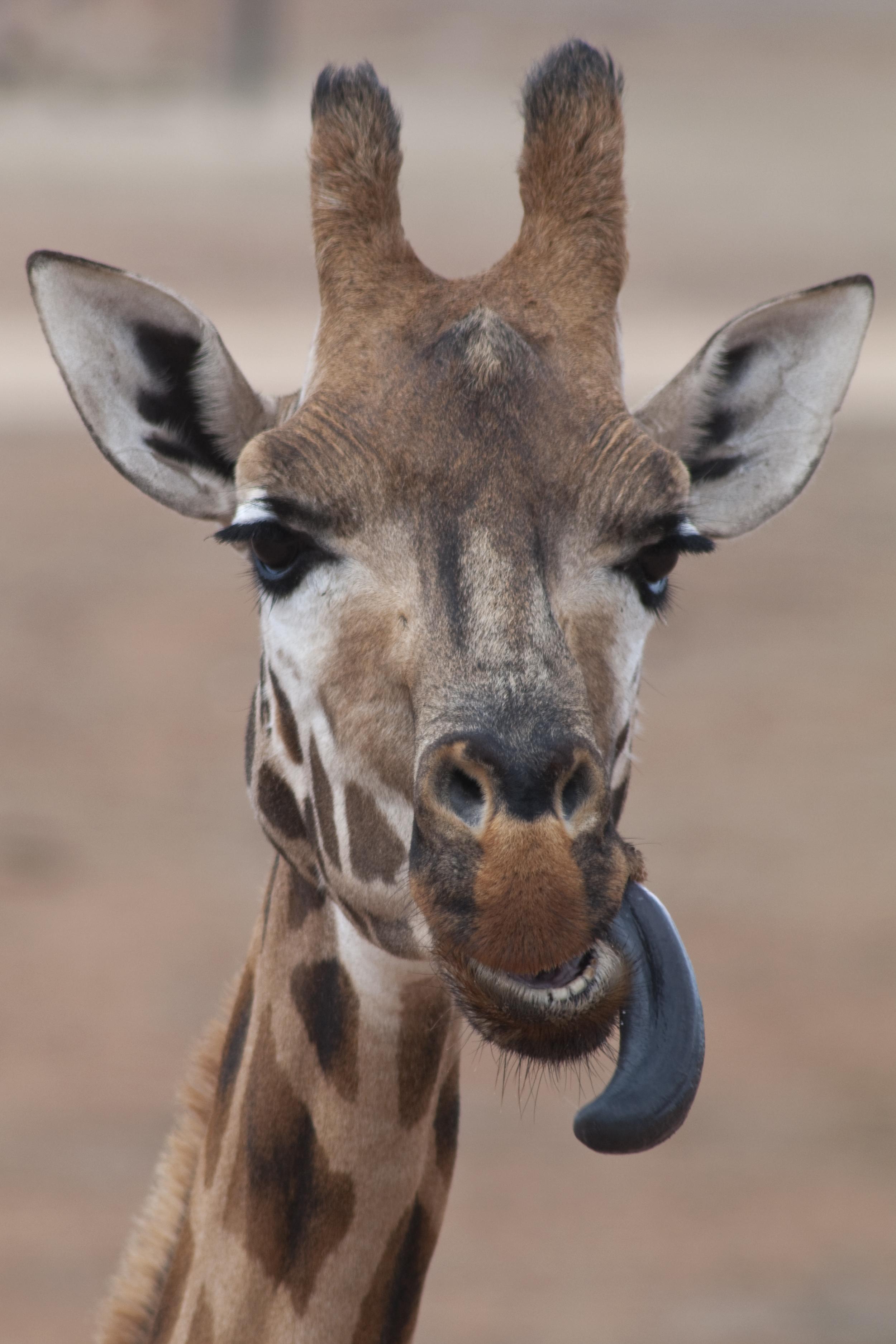 Giraffe tongue - photo#14