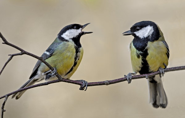 File:GreatTit002.jpg