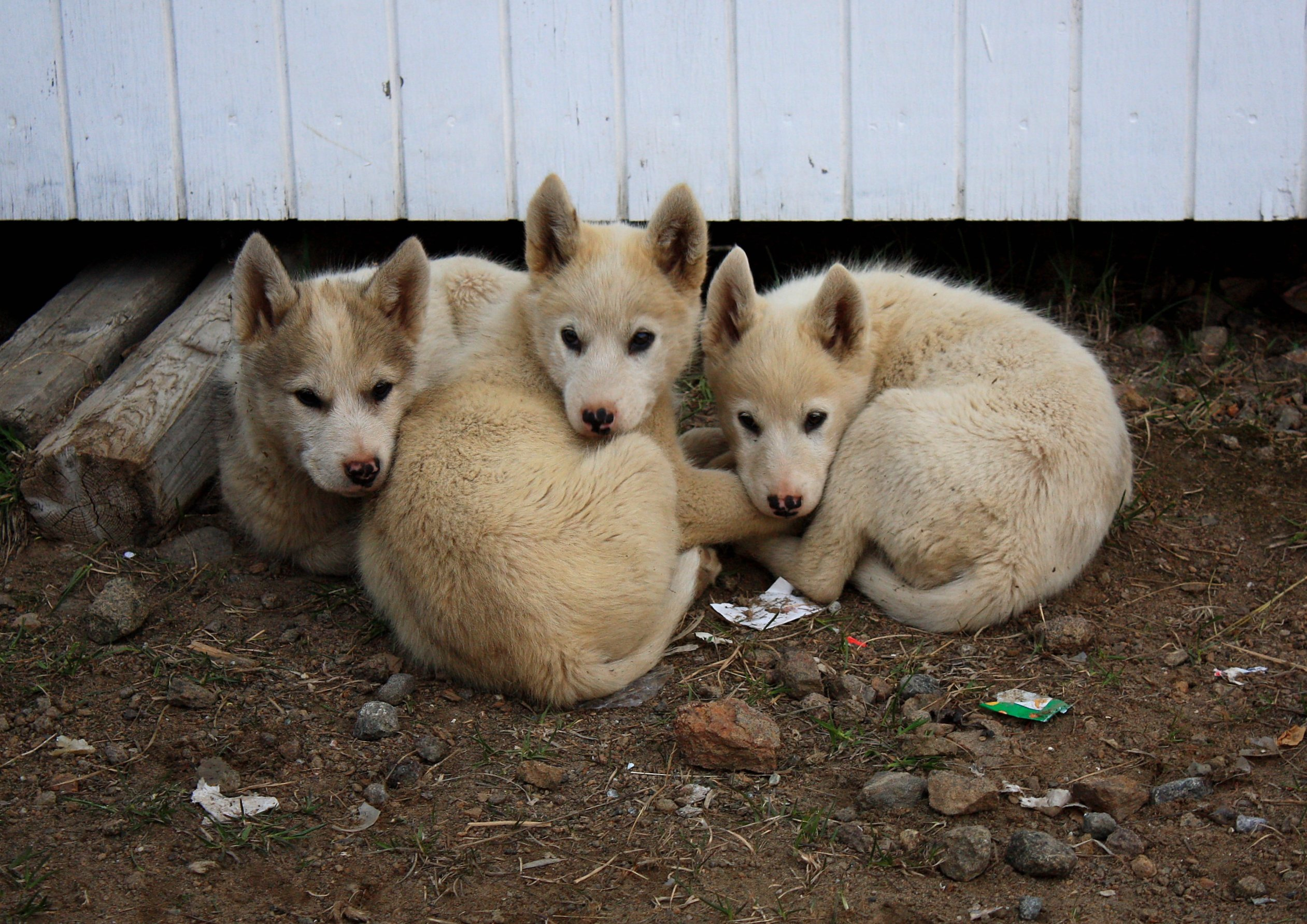 Husky Dogs Free To Good Home