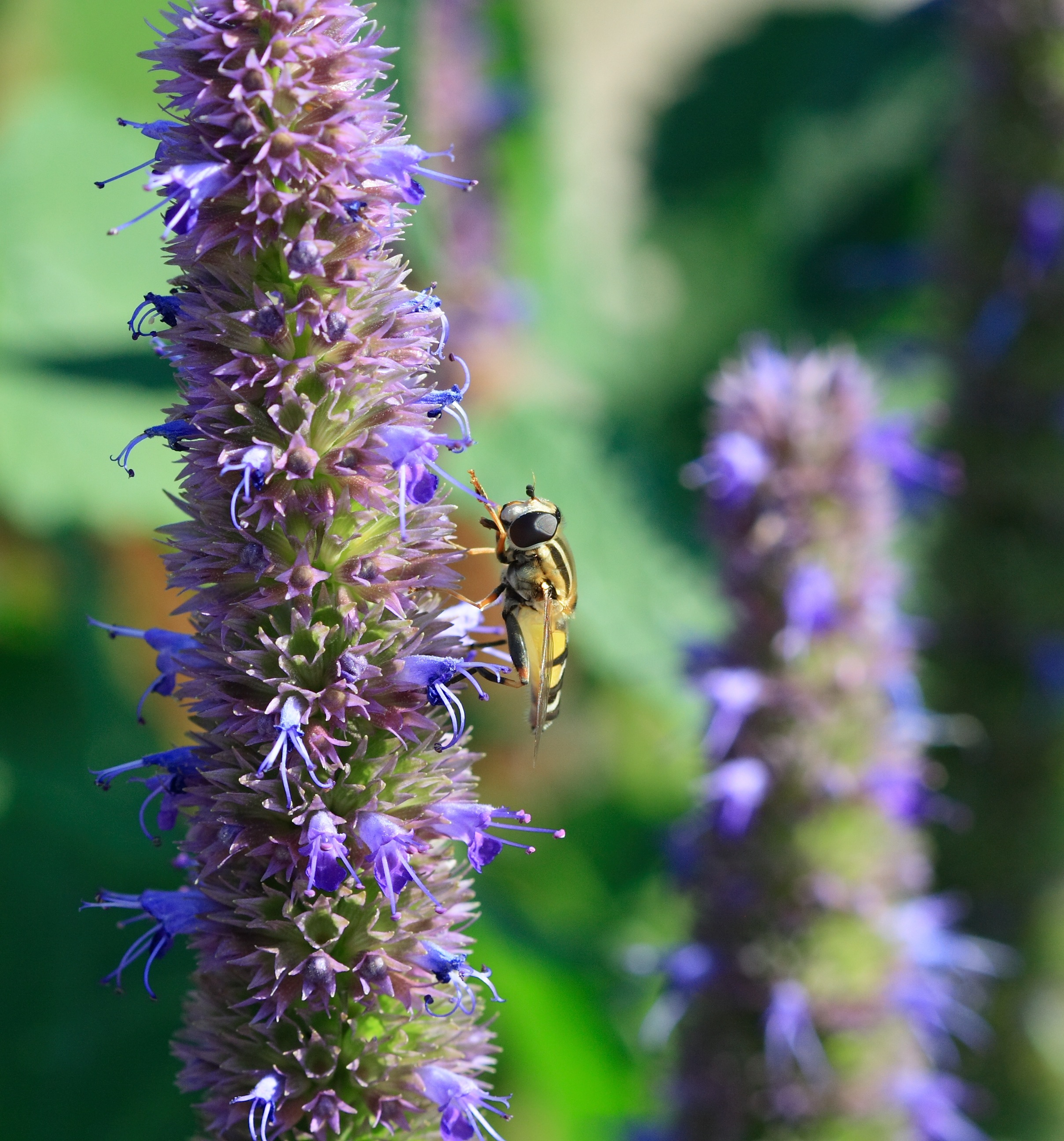 giant hyssop blue fortune - photo #32
