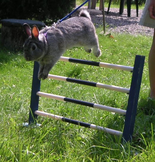 Rabbit show Jumper champion