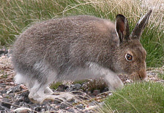 A mountain hare (Lepus timidus) in Findhorn Valley, May 2004 Lepus timidus 01-cropped.jpg