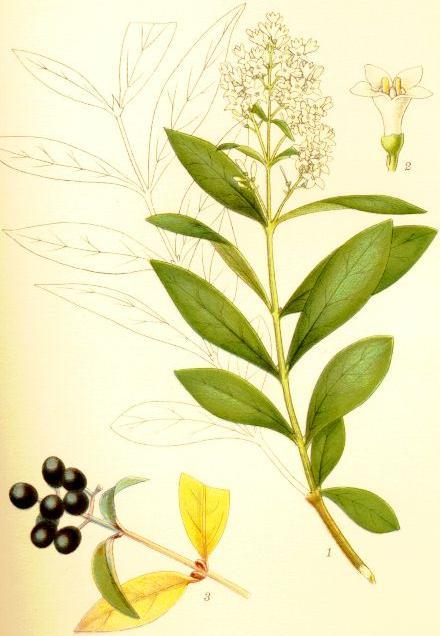 Ligustrum vulgare liguster.jpg