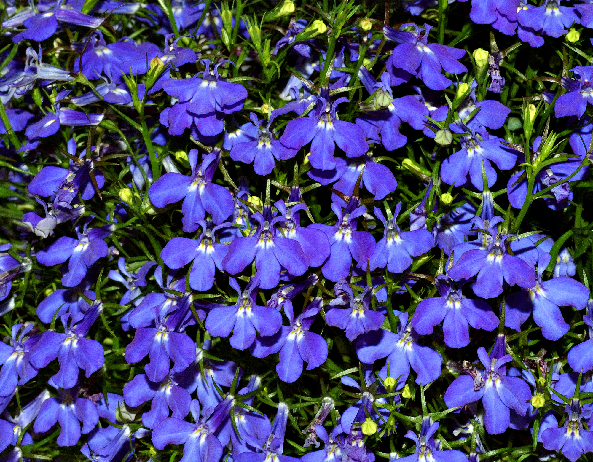 File:Lobelia (aka).jpg - Wikipedia, the free encyclopedia