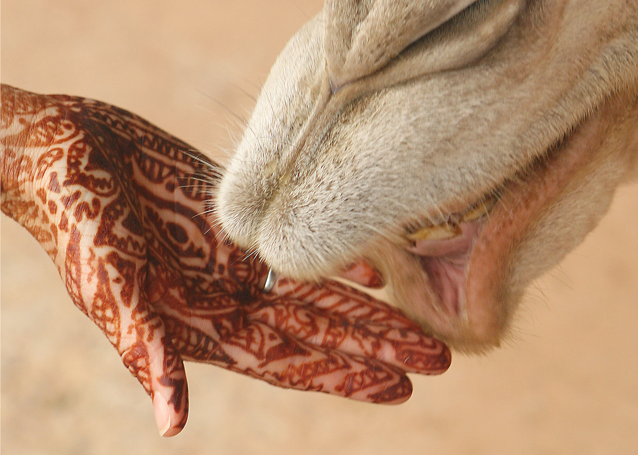File Mehndi On Hand With Camel Jpg Wikimedia Commons