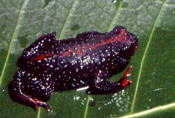 Melanophryniscus dorsalis
