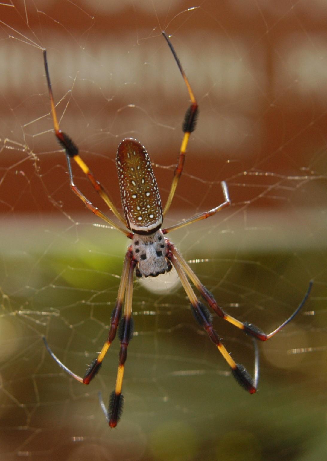 File:Misha3637 - banana spider (by).jpg - Wikimedia Commons
