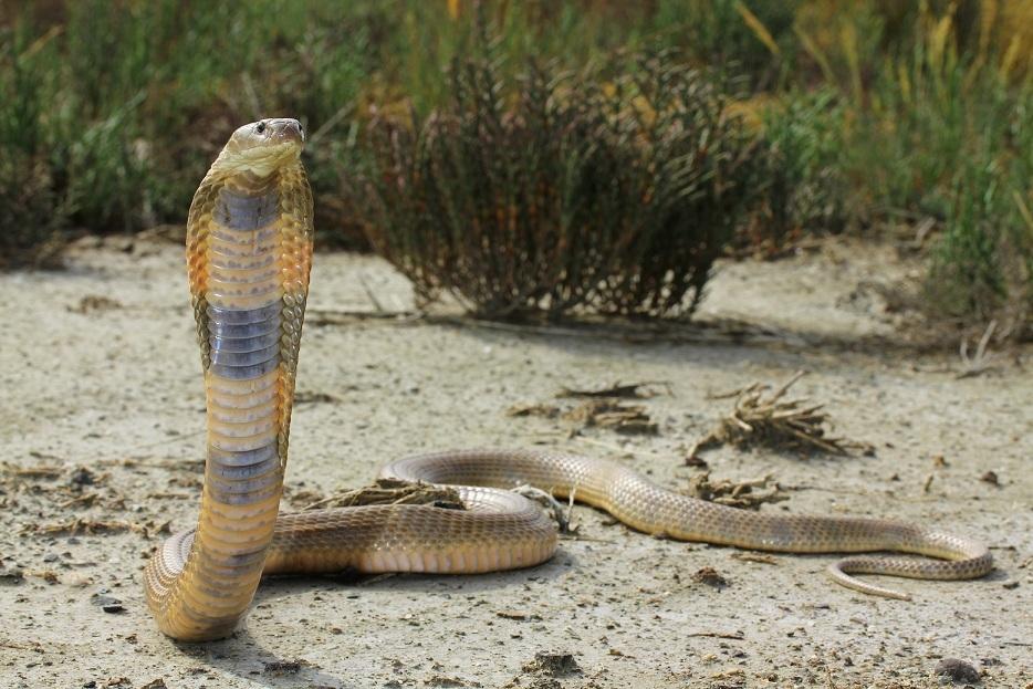 Echte Kobras