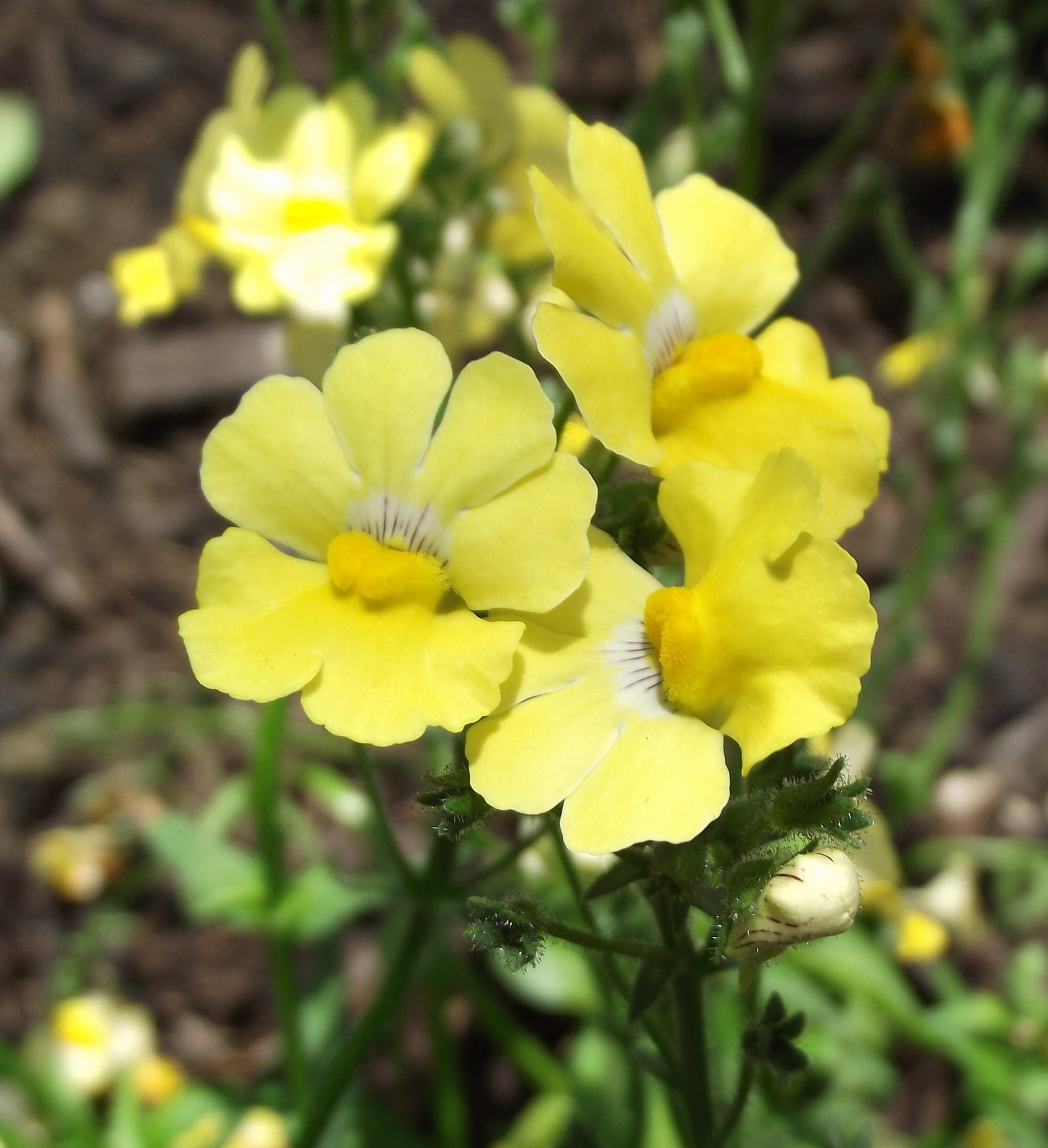 California Lemon Law >> File:Nemesia-sunsatialemon.jpg - Wikimedia Commons