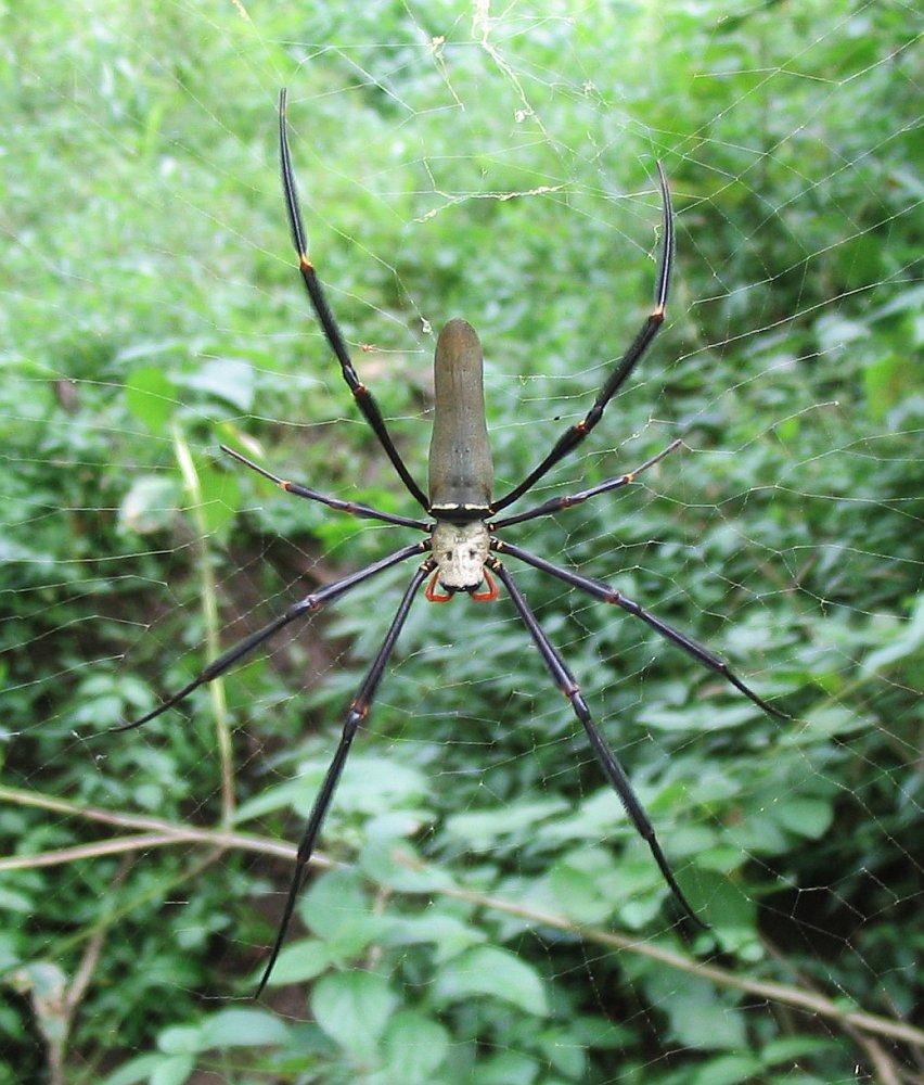 http://upload.wikimedia.org/wikipedia/commons/8/86/Nephila_pilipes_02.jpg