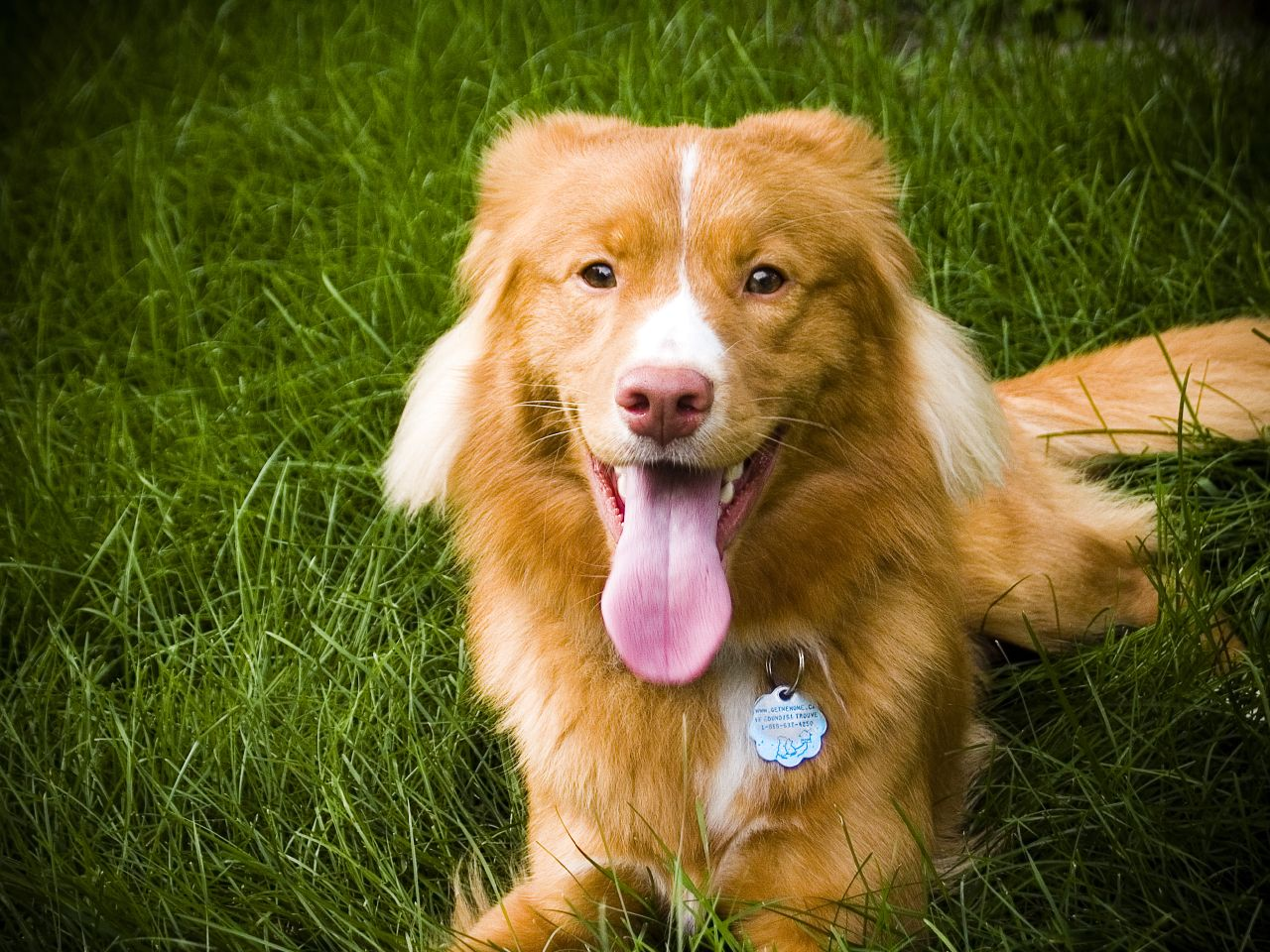 Duck Tolling Retriever Puppies For Sale Vancouver Island