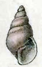 <i>Brachystomia</i> genus of molluscs