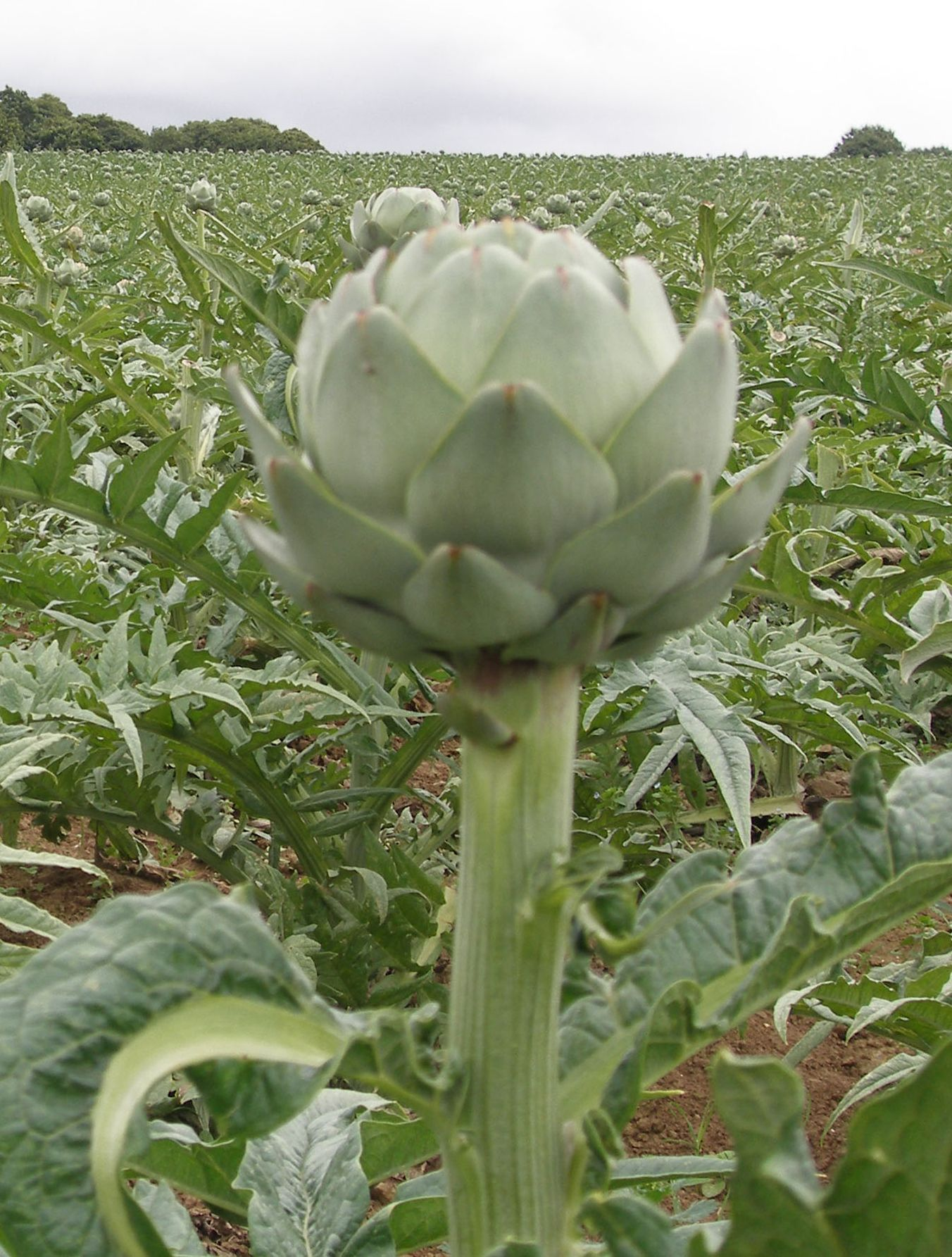 "Photo of an artichoke head and a cultivated field of artichokes.Adapted from ""Wikimedia,"" b y Author China Crisis ,2013, Retrieved 27 September, 2014, from http://commons.wikimedia.org/wiki/File:P8220094.JPG"