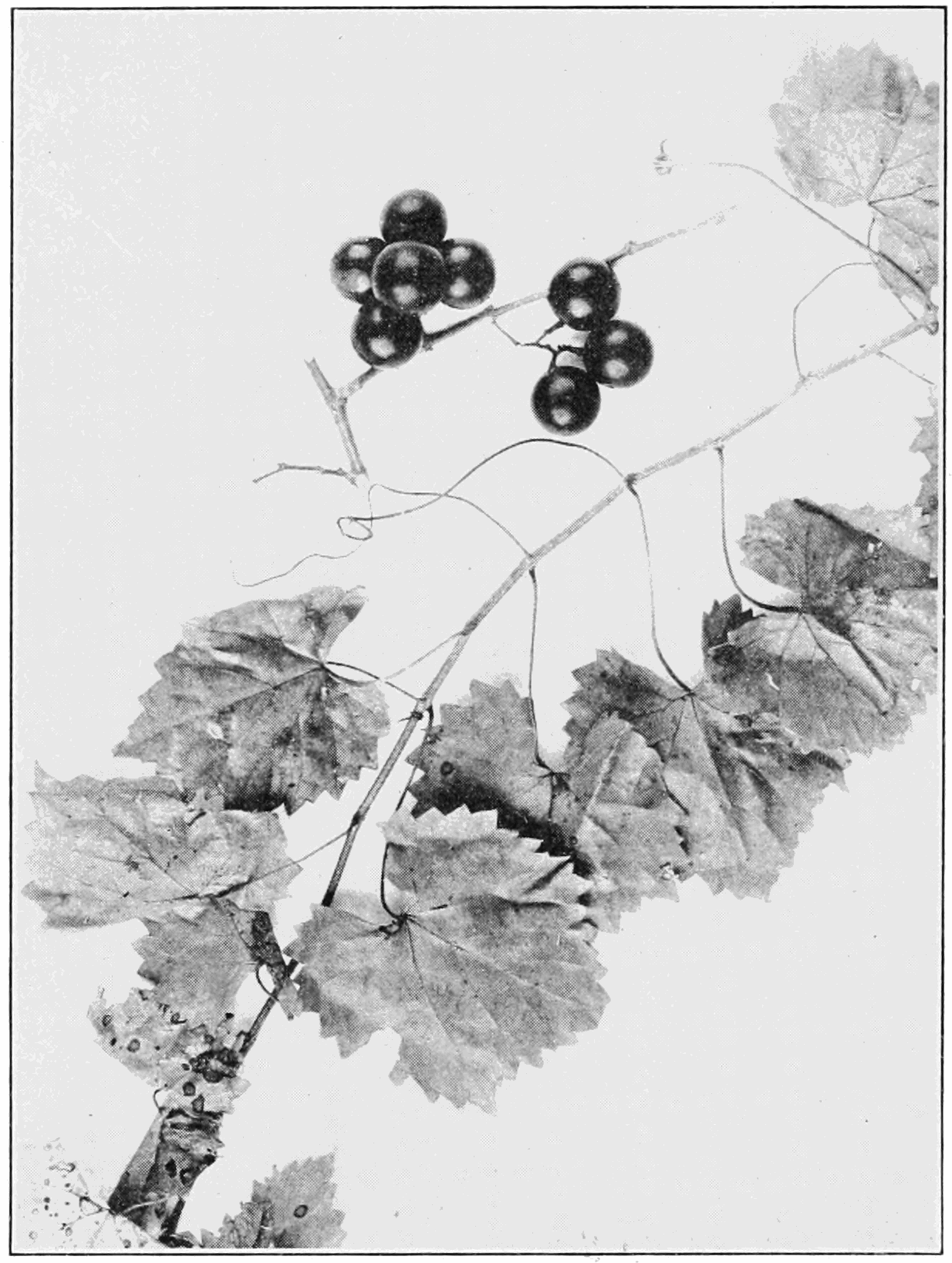 PSM V82 D352 Vitis rotundifolia southern fox grape.png